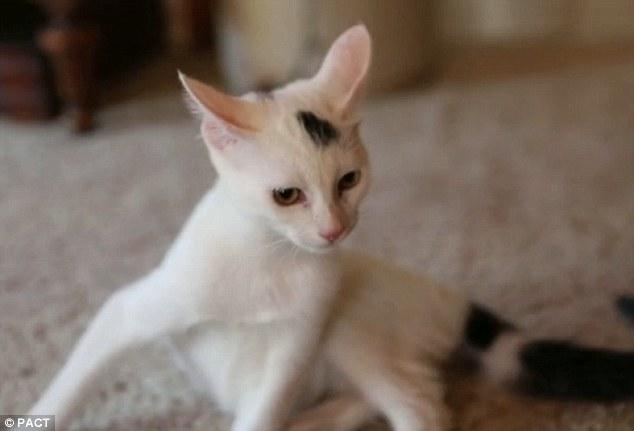 Thumper, le chaton miraculé qui a appris à marcher
