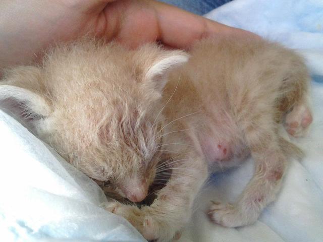 Jack, le chaton miraculé né dans un cactus