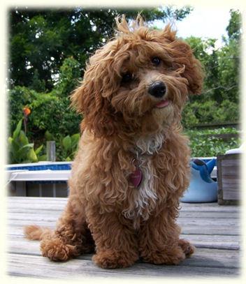 Le Cava-poo-chon : 3 races pour le petit chien idéal ?
