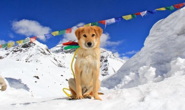 Sauvé d'une mort certaine, il devient le 1er chien à avoir escaladé l'Everest