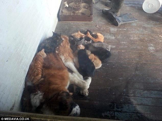 des chats dorment sur un sain-bernard