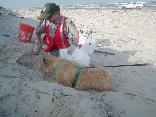Ridley, un chien héros venant en aide aux tortues en danger