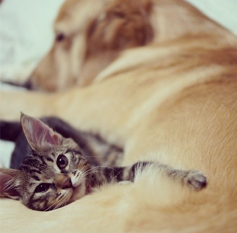 un chaton adopté par un golden retriever