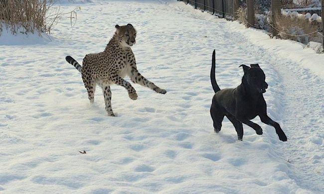 Le Labrador et le guépard devenus inséparables (Vidéo)