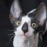 Ces chatons Cornish Rex vont vous faire craquer