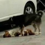 Ce chien en train de tenter de réanimer un autre chien va vous briser le cœur