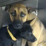 Amoureux, ces deux chiens sont inséparables et ne peuvent pas vivre l'un sans l'autre