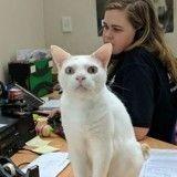 Après 400 jours dans un refuge sans être adopté, ce chat en est devenu le réceptionniste !