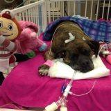 Ce chien héroïque lutte pour sa vie après avoir tenté de sauver son maître d'un incendie