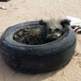 Cette chienne malade avait pour seule maison un vieux pneu