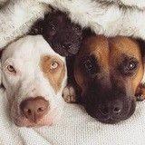 Lorsque deux  chiens sauvés de l'euthanasie adoptent un chiot orphelin