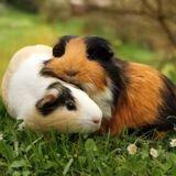 En Suisse, il est illégal d'avoir un seul cochon d'Inde