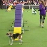 Ce chien rate son concours de la plus drôle des façons et en devient la star malgré lui