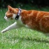 Ce chat à deux pattes va vous impressionner lorsque vous verrez tout ce qu'il sait faire !