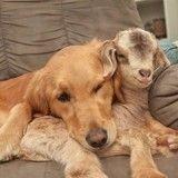 Obsédée par des petits chevreaux, cette chienne pense être leur maman !