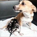 Orphelins, ces chatons ont été ramenés à la vie par une «maman» inattendue