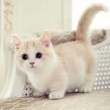 20 adorables raisons d'adopter un Munchkin, le chat qui reste «bébé» toute sa vie !