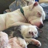 Sauvé, ce Pitbull est devenu la maman parfaite de plus de 20 chatons abandonnés