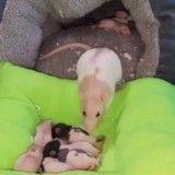 Soucieuse du confort de ses bébés, cette ratte les déplace dans un lit plus confortable (Vidéo du jour)