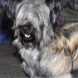 Le Skye Terrier, chien qui a inspiré «Pollux», risque de disparaître