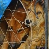 La fermeture du plus grand marché de viande chien de Corée du Sud, un mensonge ?