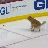 Fan de hockey, ce chien s'éclate comme un fou à la patinoire (Vidéo du jour)