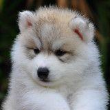 10 photos de Husky de Sibérie bébés qui vont vous faire craquer