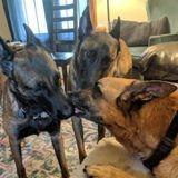 Ces deux chiens ont couvert leur grand frère de bisous avant qu'il ne soit euthanasié