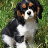 12 Cavalier King Charles qui vous donneront envie d'en adopter un