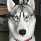 10 Husky de Sibérie vraiment trop craquants !