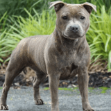 10 raisons d'avoir un Staffordshire Bull Terrier
