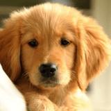 10 Golden Retriever qui vont vous donner le sourire