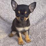 13 Chihuahua vraiment trop craquants