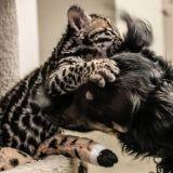 Le petit Ocelot et son meilleur ami le chien