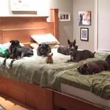 Ce couple a fait fabriquer un lit immense pour dormir avec leurs 8 chiens !