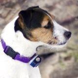 Pourquoi le collier électrique est à bannir dans le dressage du chien ?