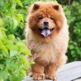 Pourquoi le Chow-Chow est le chien le plus cool au monde ?