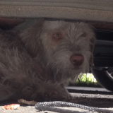 L'incroyable sauvetage d'un chien qui vivait sous une voiture depuis 7 mois…