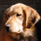 Votre chien aussi peut avoir de l'acné !