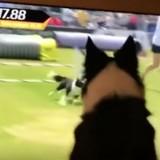 Cette chienne championne d'agility regarde sa performance à la télé, sa réaction est à mourir de rire (Vidéo)