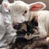 Miraculé, un agneau trouve du réconfort dans les pattes d'une adorable chatte