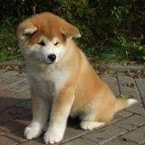 10 races de chiens les plus chères du monde
