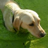 Plus de 200 chiens morts à cause d'une algue