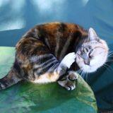 Allergies du chat : comment traiter un chat allergique ?