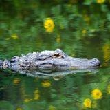 Un alligator croque son chien : ce qu'il fait ensuite est d'un courage héroïque ! (Vidéo)