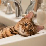 Ce chat Bengal apprend un petit tour qui va finalement coûter des milliers d'euros à ses propriétaires