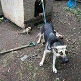 Une chienne attachée à une niche, sauvée avec ses 7 chiots