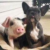 Issu d'un sauvetage, cet adorable petit cochon s'est lié d'amitié avec un chiot