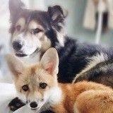 Ce chien et ce renard orphelin sont devenus les meilleurs amis du monde