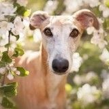 Amoureuse du Lévrier, elle a décidé de photographier la beauté de ce chien particulier